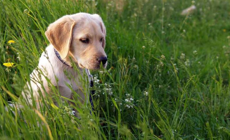labrador als ideale gezinshond