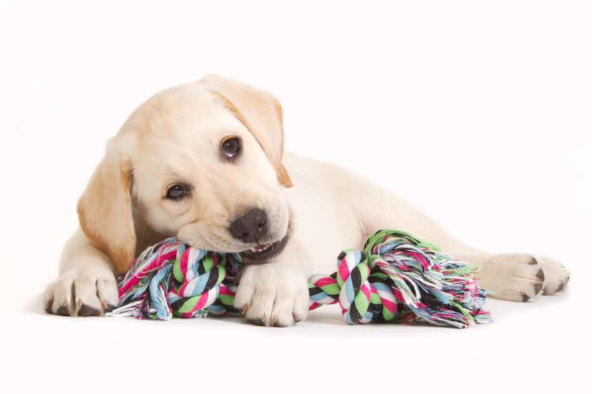 jonge hond kluiven